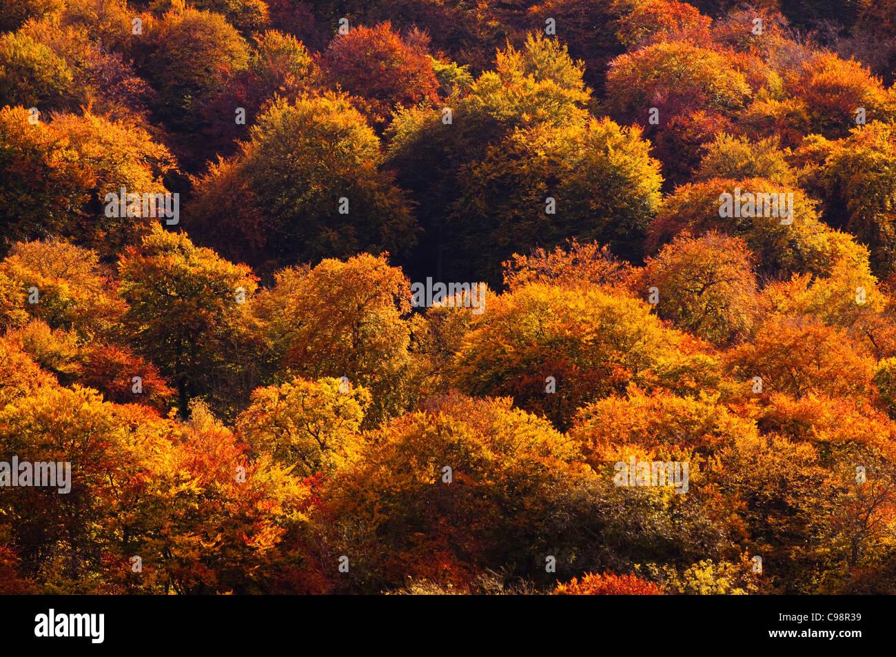 Autumn colour, Chiltern Hills, Buckinghamshire Stock Photo