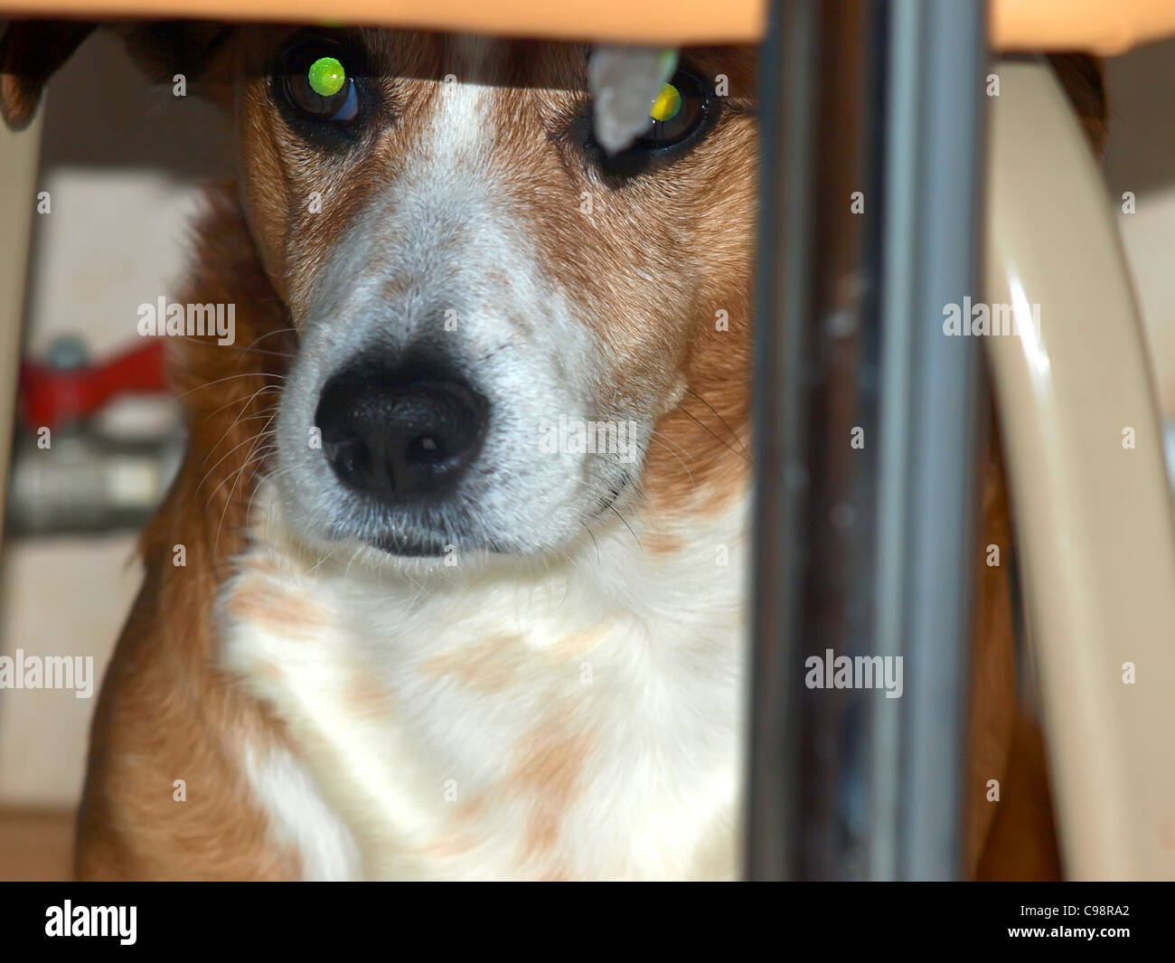 dog gazing out from under the stool in the kitchen - Stock Image