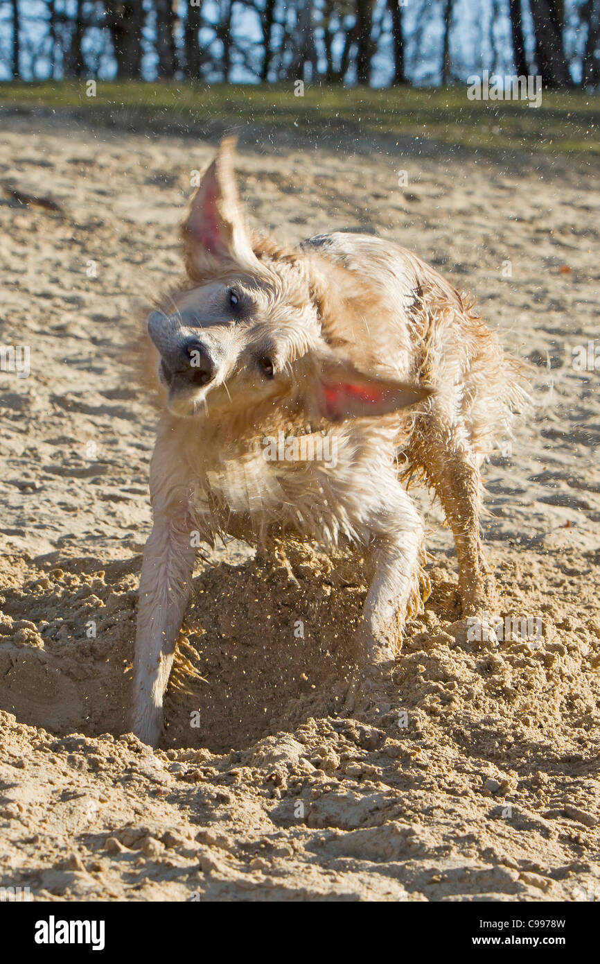 Golden Retriever dog shaking off water - Stock Image