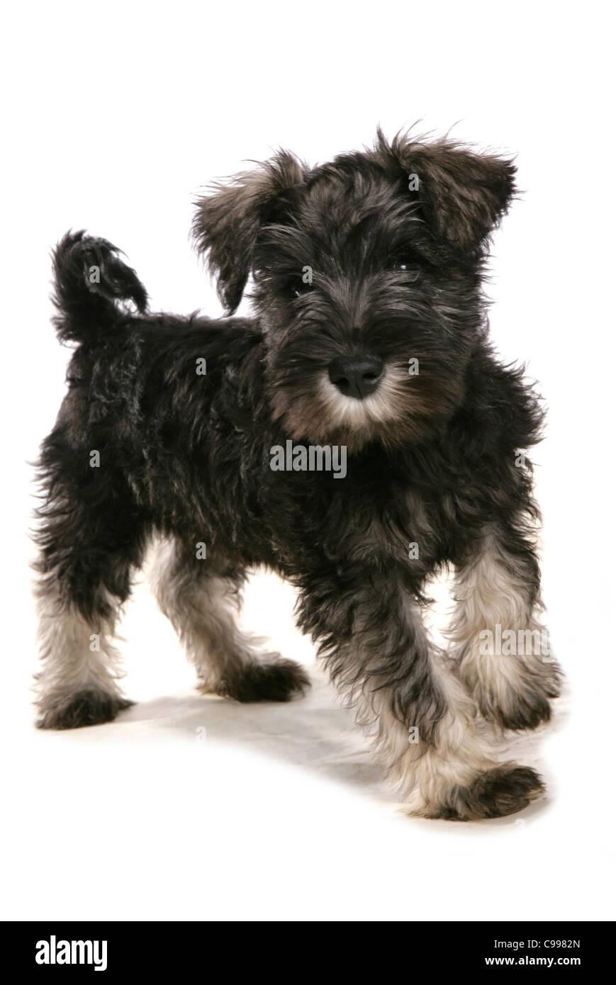 Schnauzer Dog Puppy Cut Out Stock Photo 40156557 Alamy