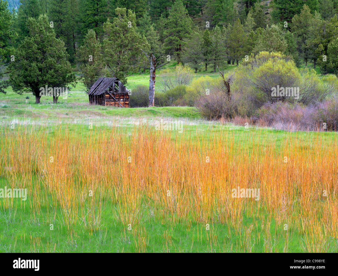 Cabin, willow and pasture. Near Prinville, OR - Stock Image