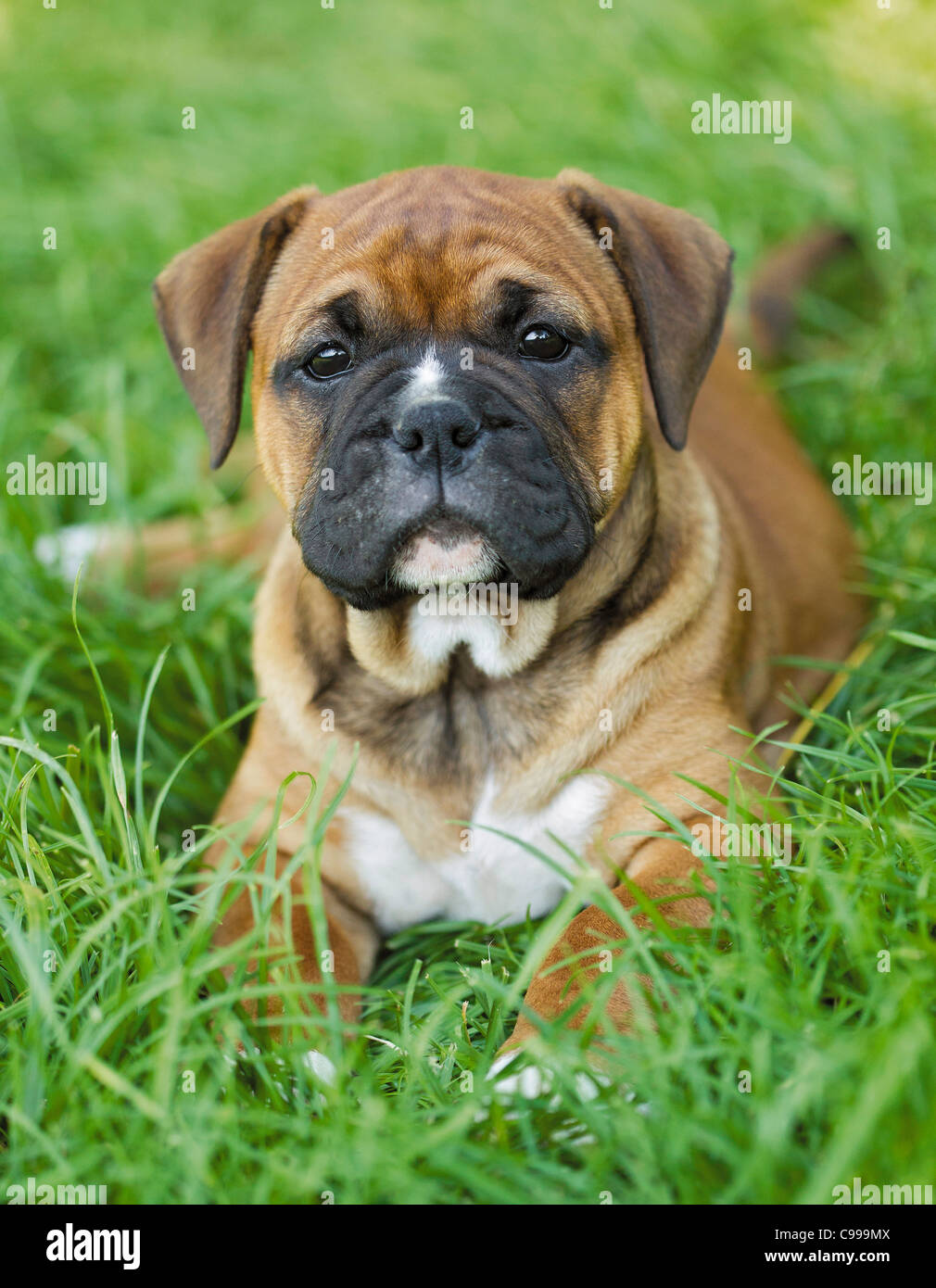 Continental Bulldog Puppy Meadow Stock Photo Alamy