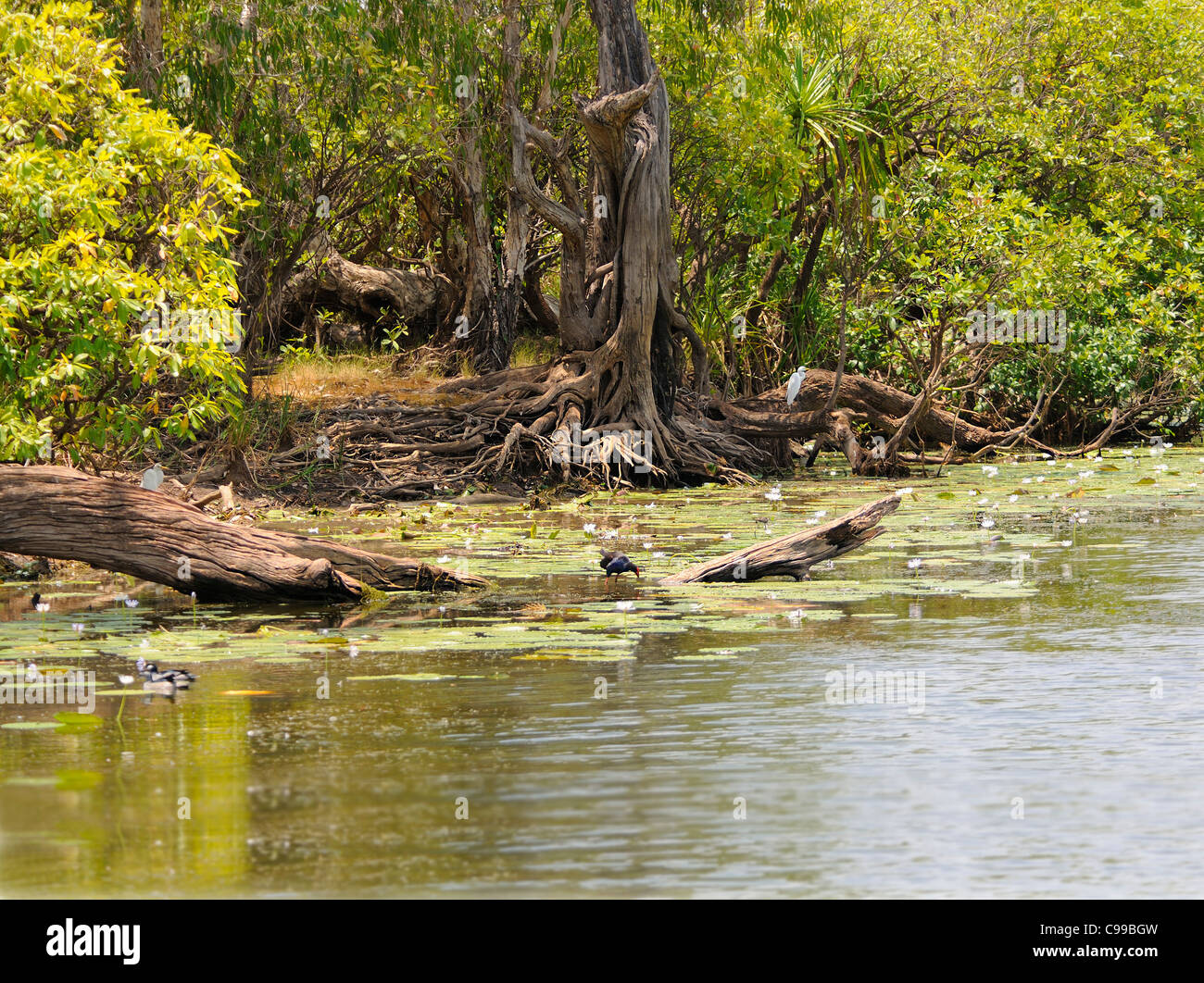 Exposed trees and roots in the Yellow Water Wetlands, Kakadu National Park, Top End, Northern Territory, Australia - Stock Image
