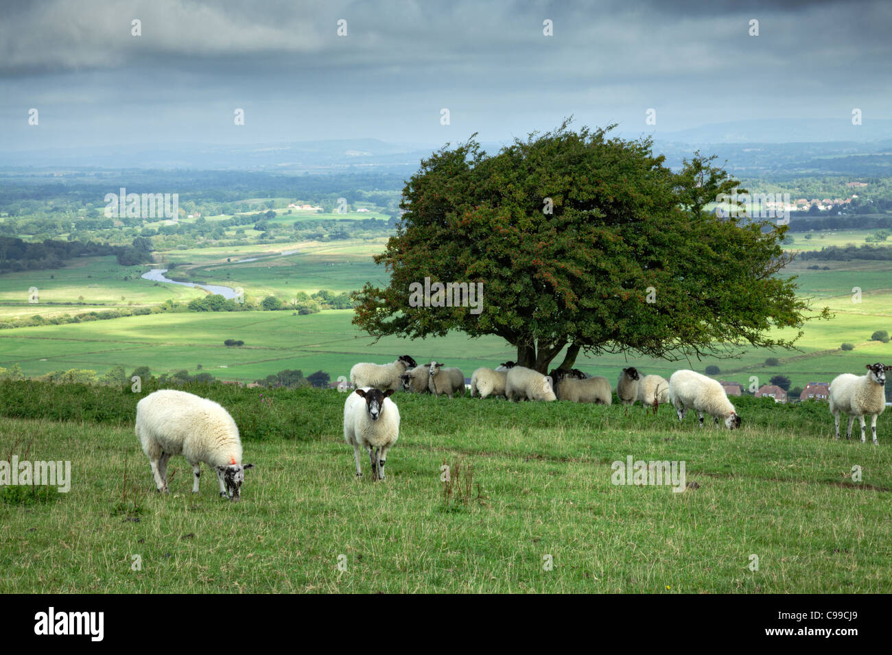 Sheep sheltering under tree, Amberley Mount, West Sussex - Stock Image
