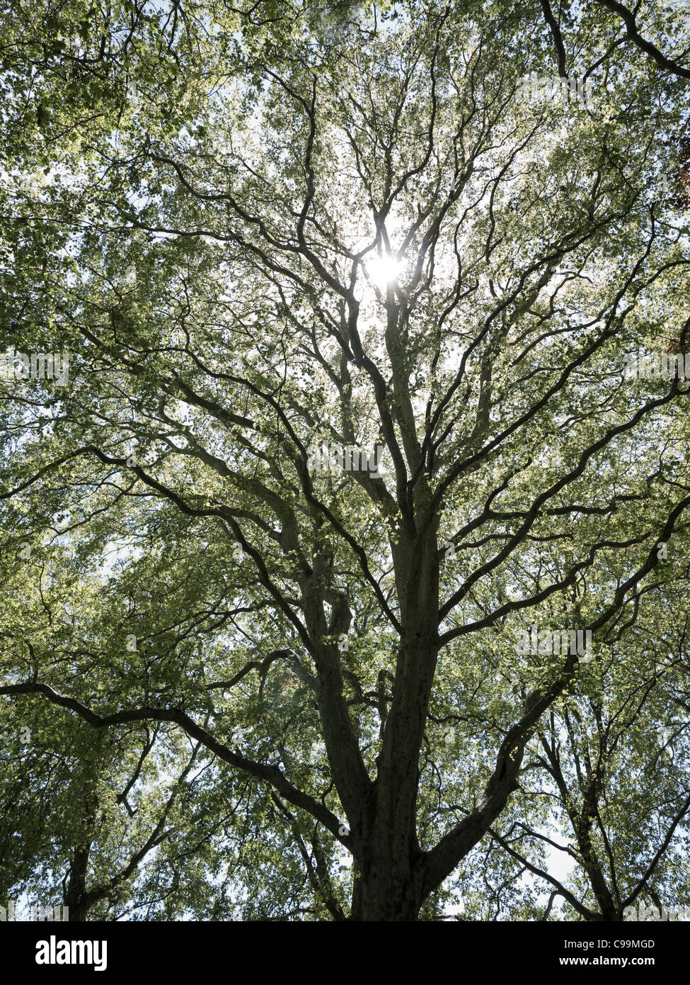 Sunlight bursting through tree - Stock Image