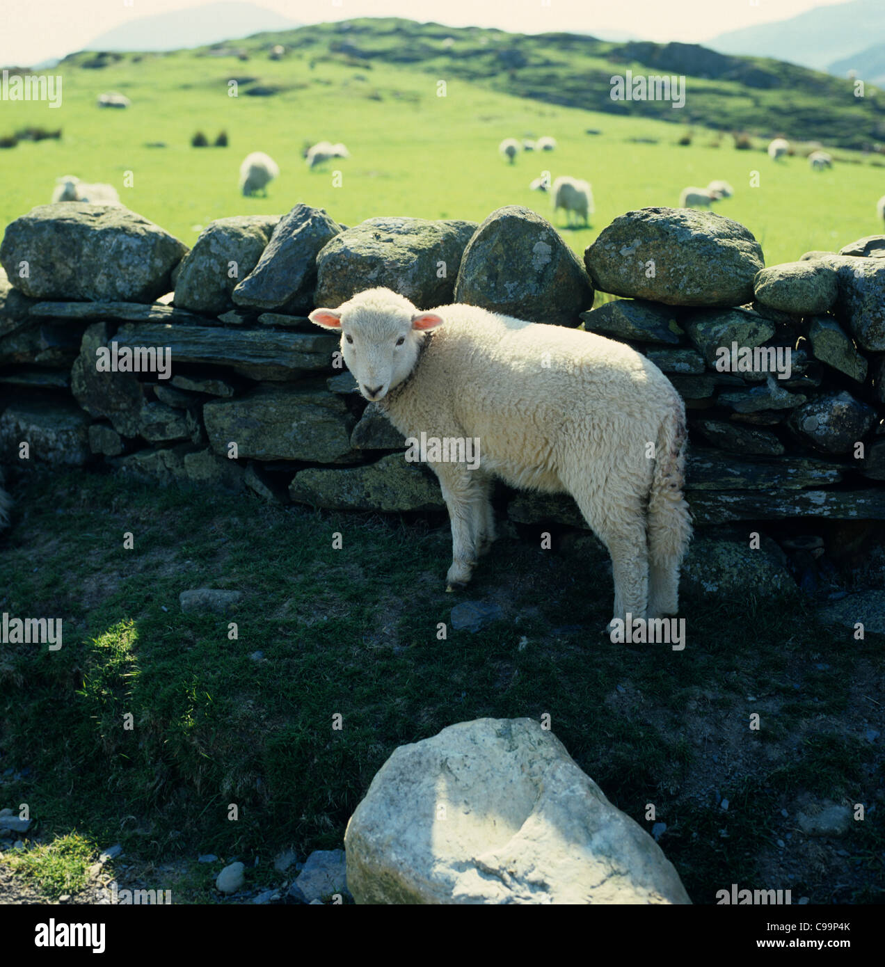 Welsh mountain sheep lamp sheltering by a dry stone wall in Snowdonia, Wales - Stock Image