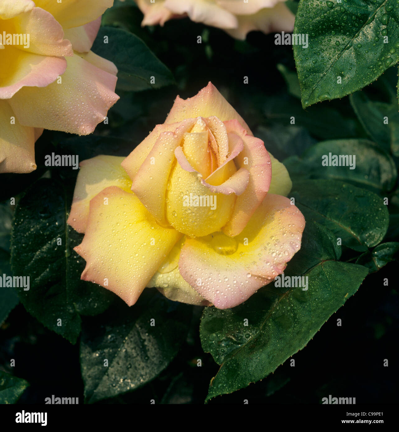 Perfect rose flower 'Peace' with moisture droplets - Stock Image