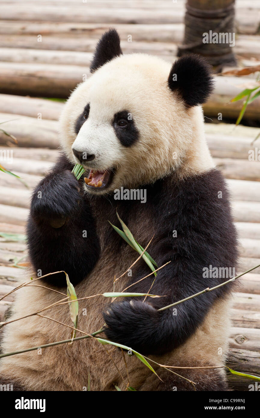 Giant Panda, Ailuropoda melanoleuca Panda Breeding and research centre, Chengdu PRC, People's Republic of China, - Stock Image