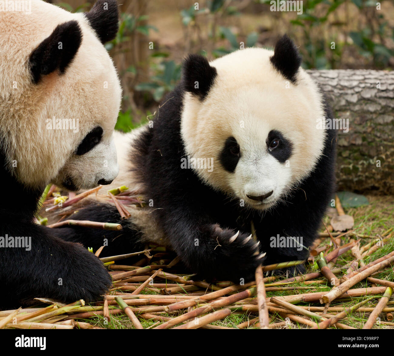 Giant Pandas, Ailuropoda melanoleuca Panda Breeding and research centre, Chengdu PRC, People's Republic of China, - Stock Image