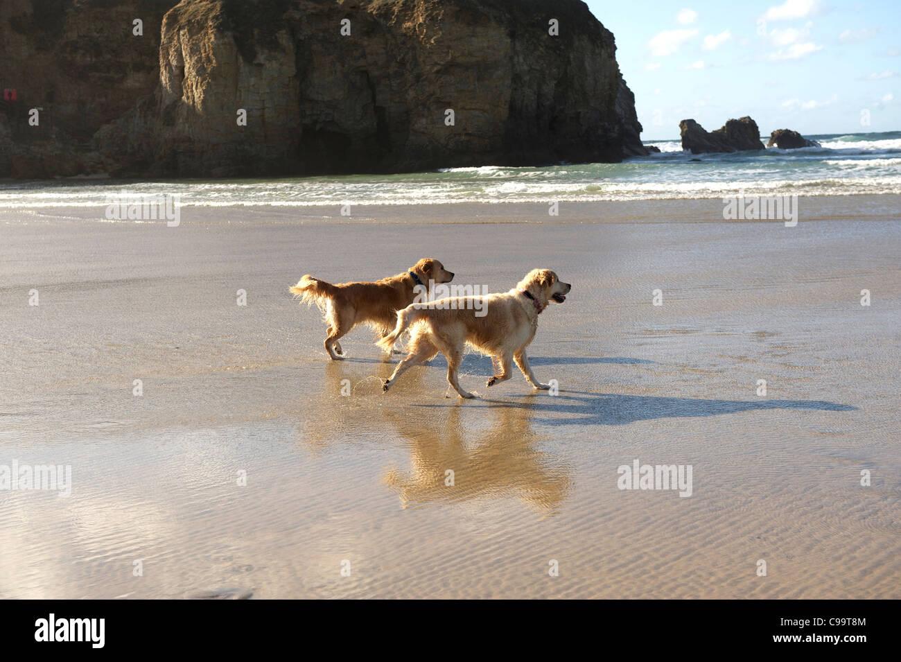 Two Golden Retrievers walking on a beautiful beach - Stock Image