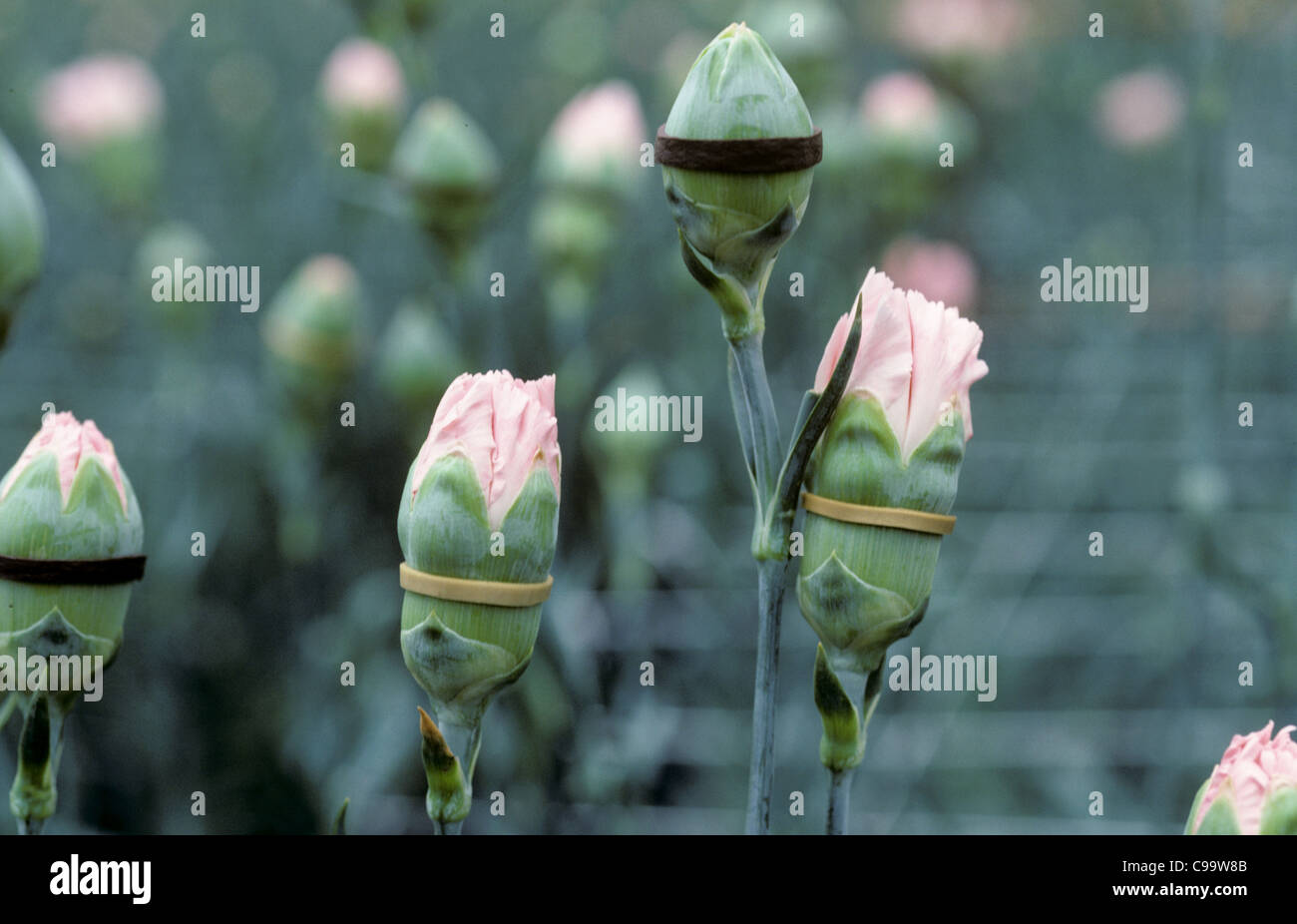 Carnation (Dianthus sp.) flower buds bound by elastic bands to prevent opening, Colombia - Stock Image
