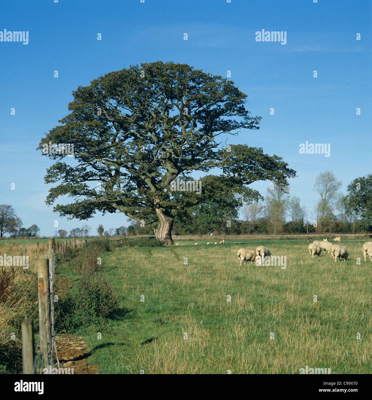 Well shaped oak in field by wire fence with sheep - Stock Image