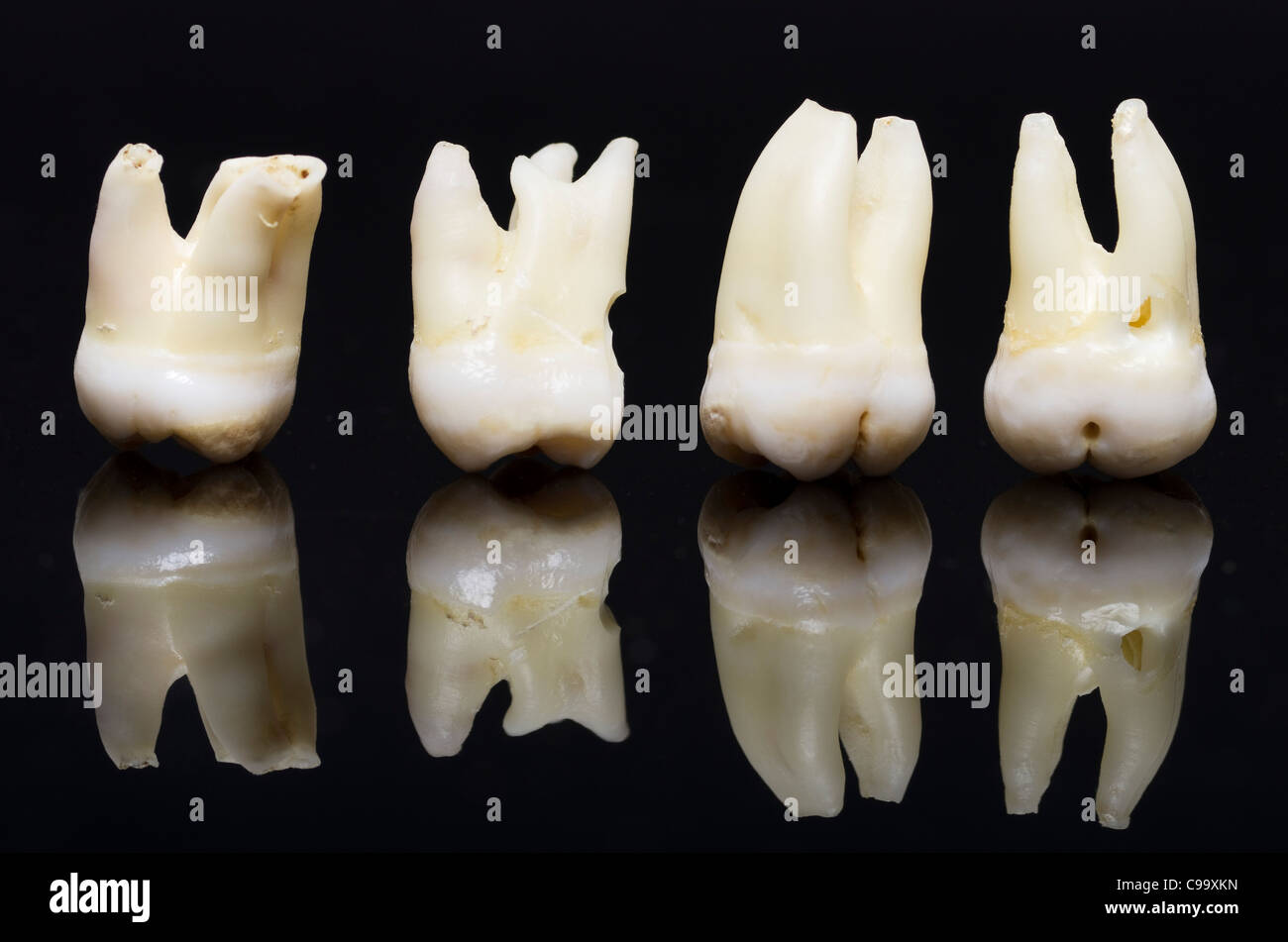 Row of wisdom tooth against black background - Stock Image