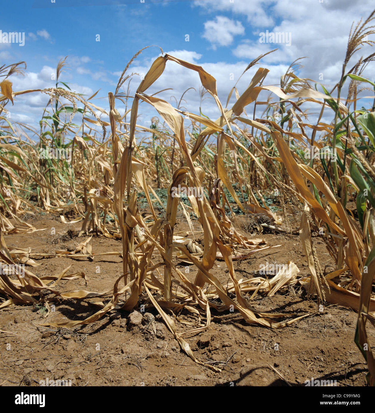 Failing maize, corn, crop struggling to grow in non-irrigated farmland in Tanzania, East Africa - Stock Image