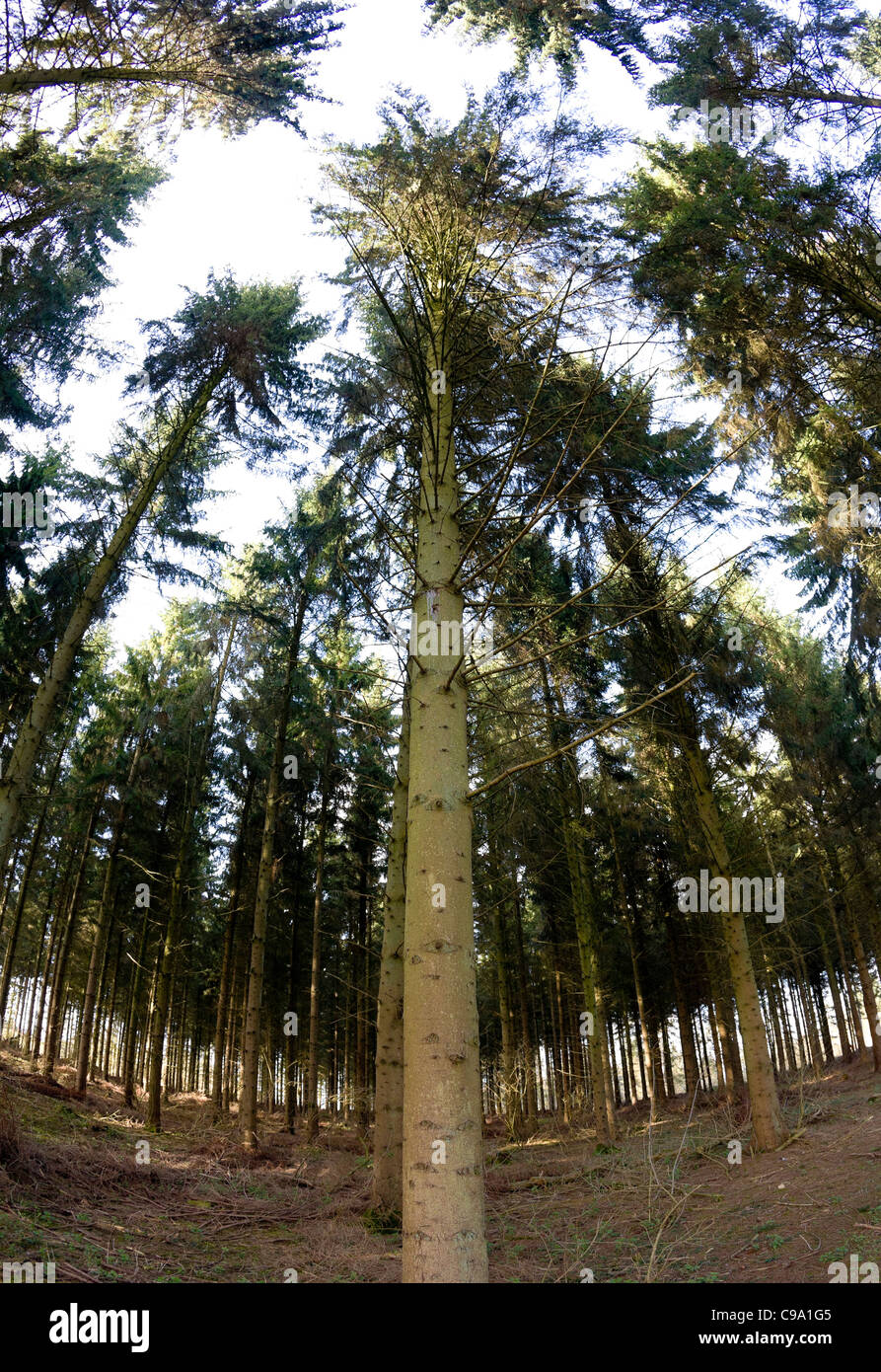 Norway spruce (Picea abies) plantation - Stock Image