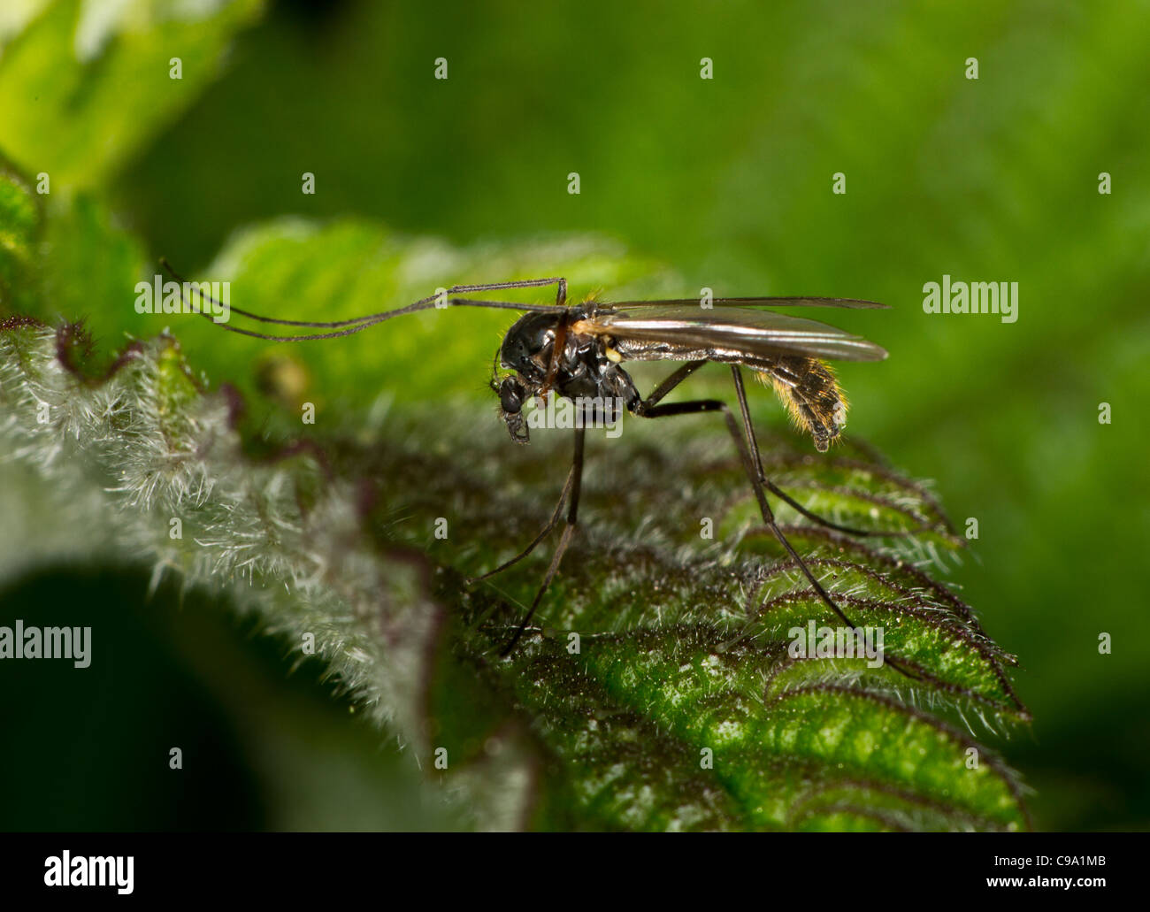 A gnat resting on a nettle; possibly a window midge (Sylvicola fenestralis) - Stock Image