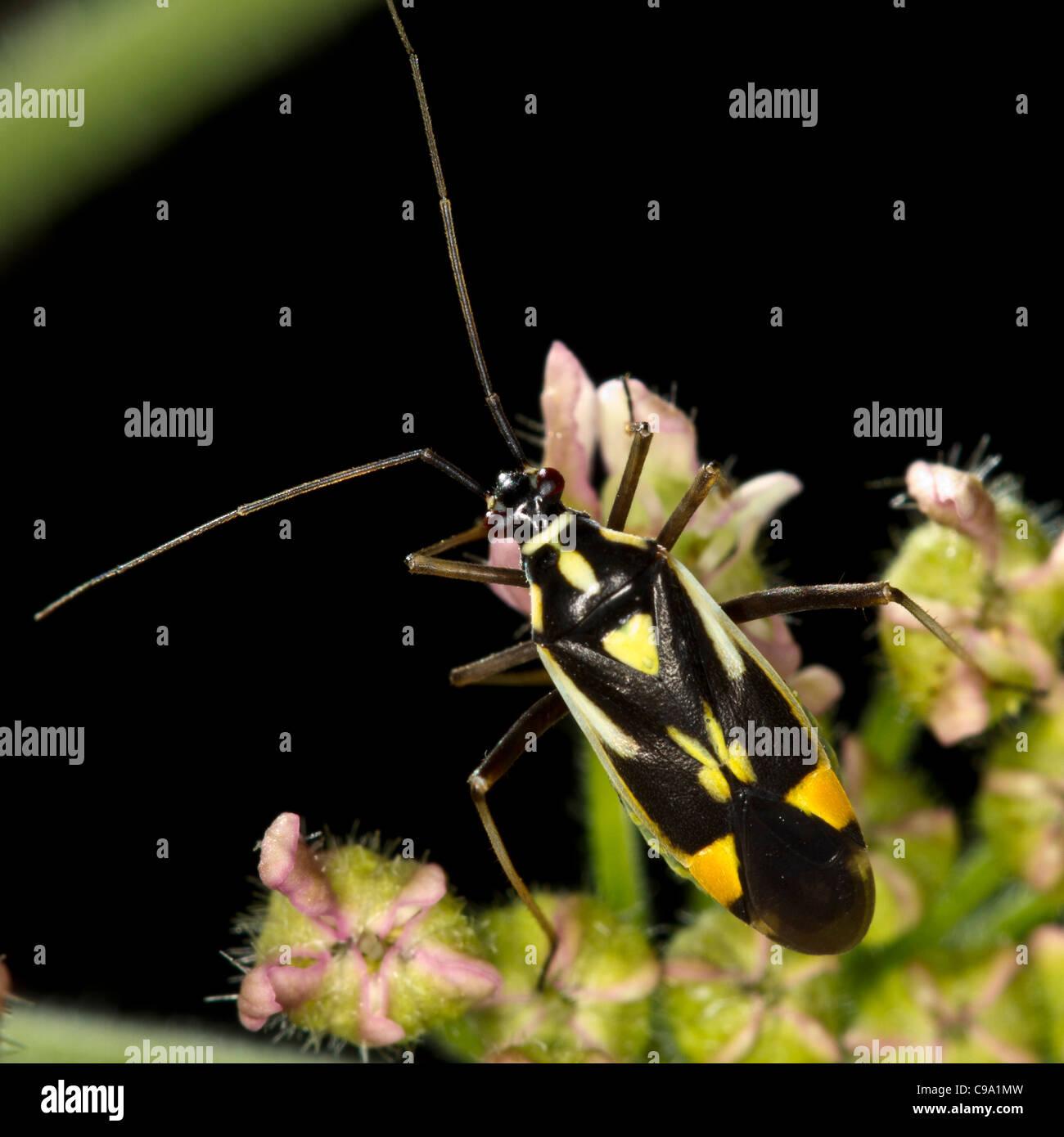 Capsid bug (Calocoris sexguttatus) - Stock Image