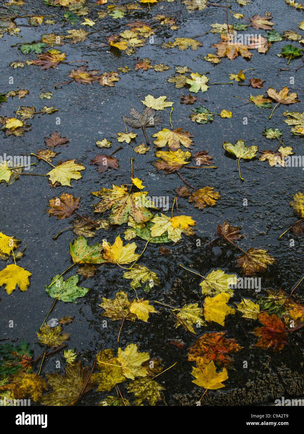 Autumn leaves scattered on a wet pavement, Dublin, Ireland - Stock Image