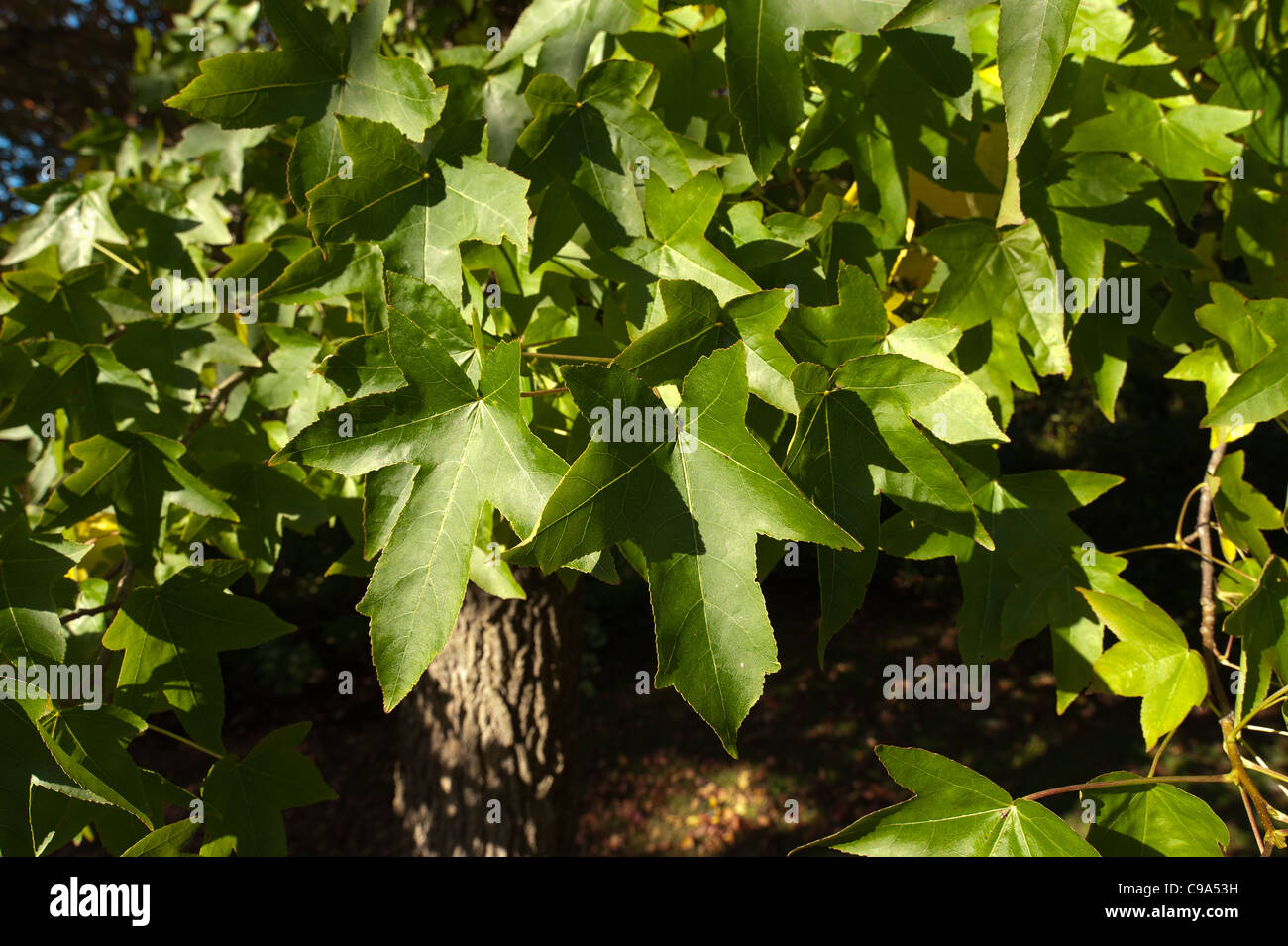 Five Pointed Star Shaped Leaves Stock Photos Amp Five