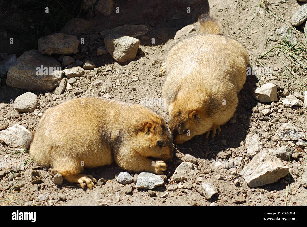 A pair of Himalayan Marmots. Ladakh, Jammu & Kashmir State, India. - Stock Image