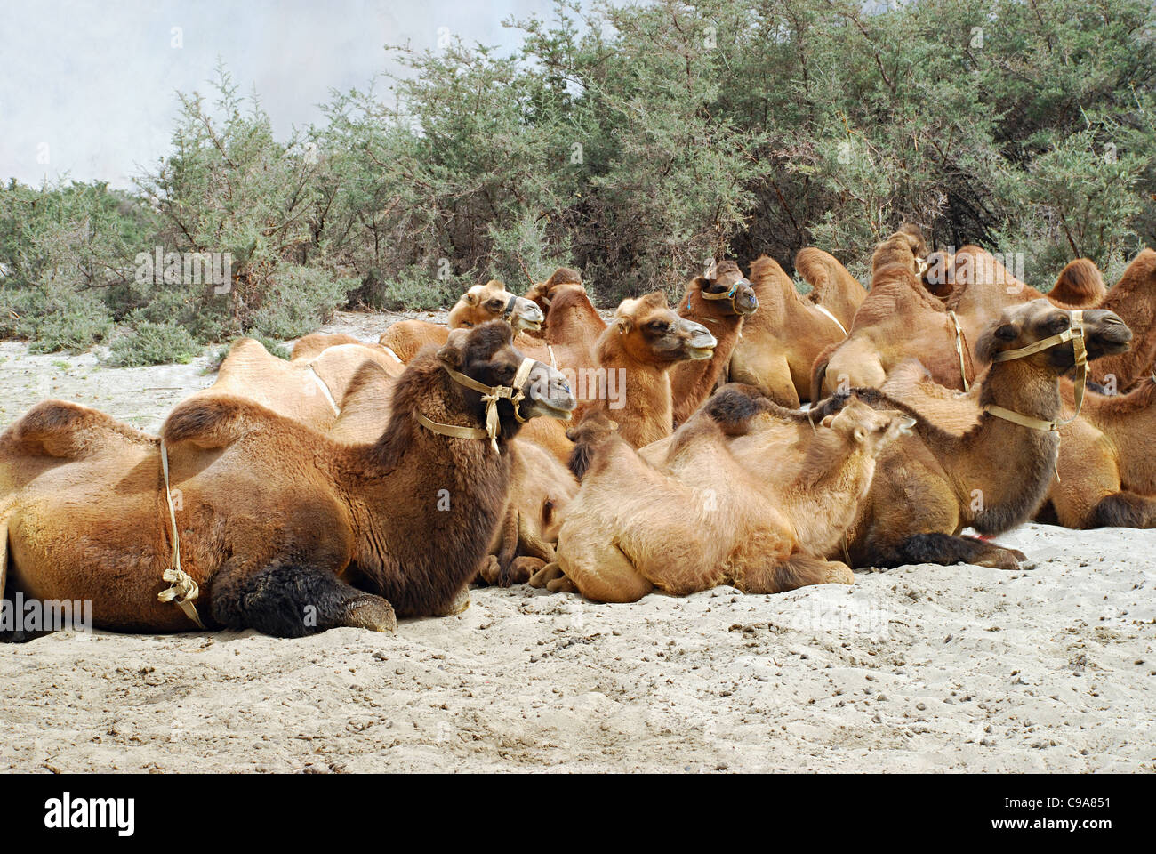 Shaggy Bactrian (two- humped) camels which are shorter and stouter. Their humps are plump and pliable and collapse - Stock Image