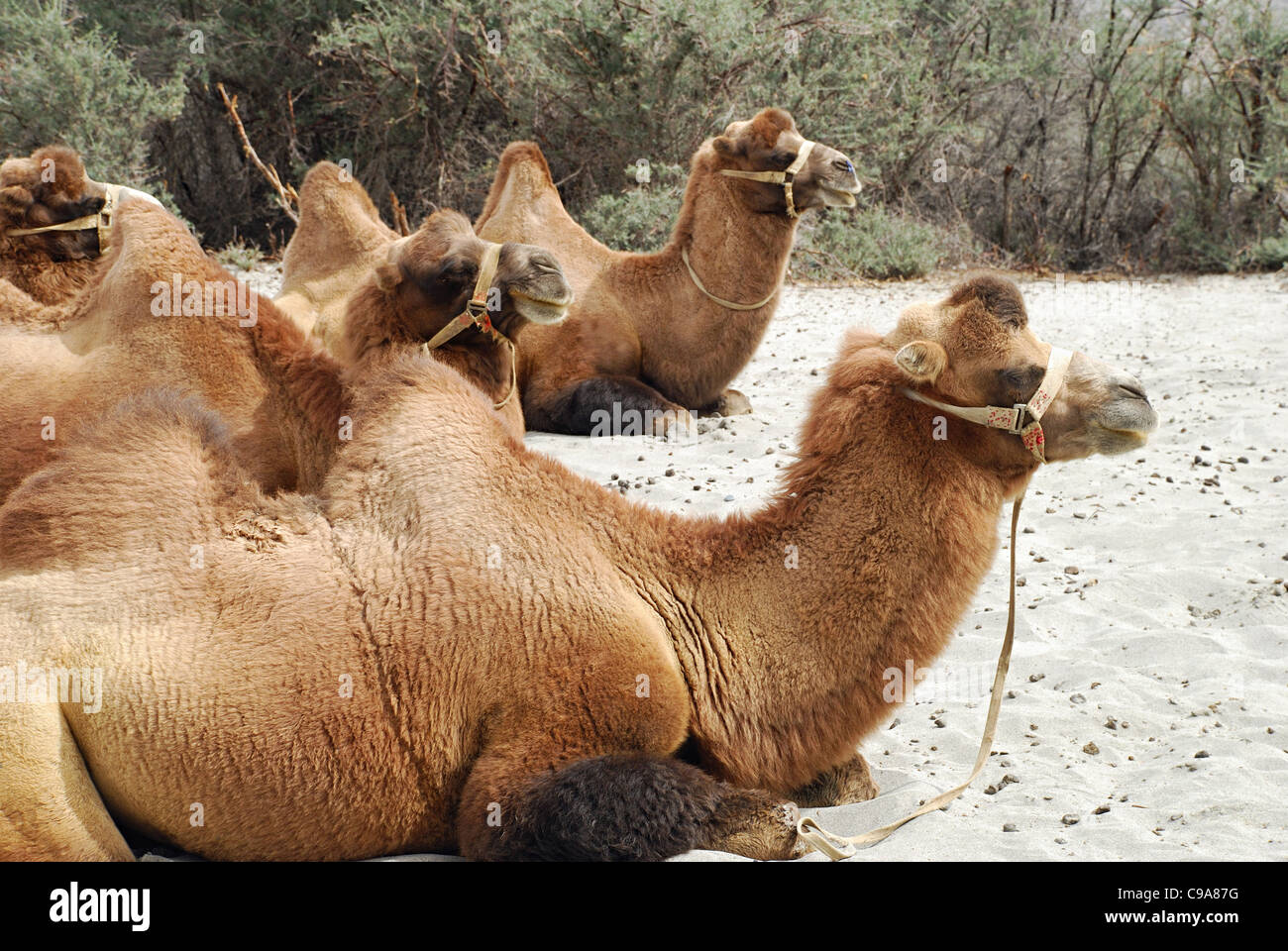 Shaggy Bactrian (two- humped) camels which are shorter and stouter. - Stock Image