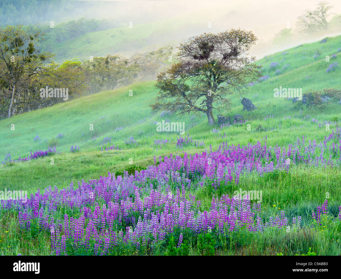 Prairie with lupines, fog and oak tree. Redwood National Park, California - Stock Image