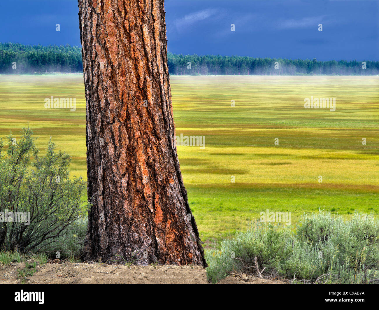 Ponderosa Pine tree and Klamath Marsh National Wildlife Refuge, Oregon. - Stock Image