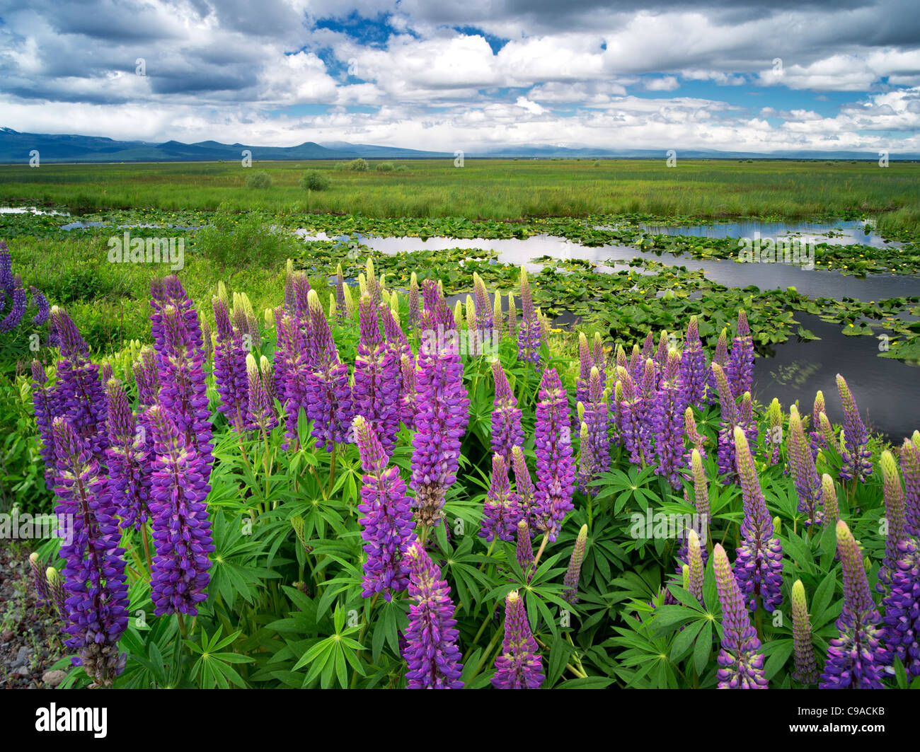Lupine and clouds in the Klamath Marsh National Wildlife Refuge, Oregon - Stock Image