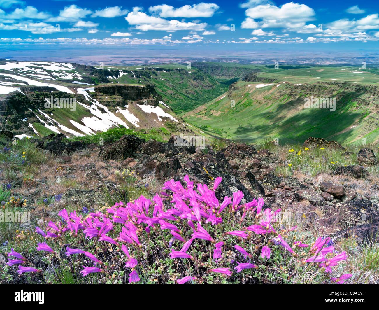 Penstemon and Little Blitzen Gorge. Steens Mountain Wilderness, Oregon - Stock Image