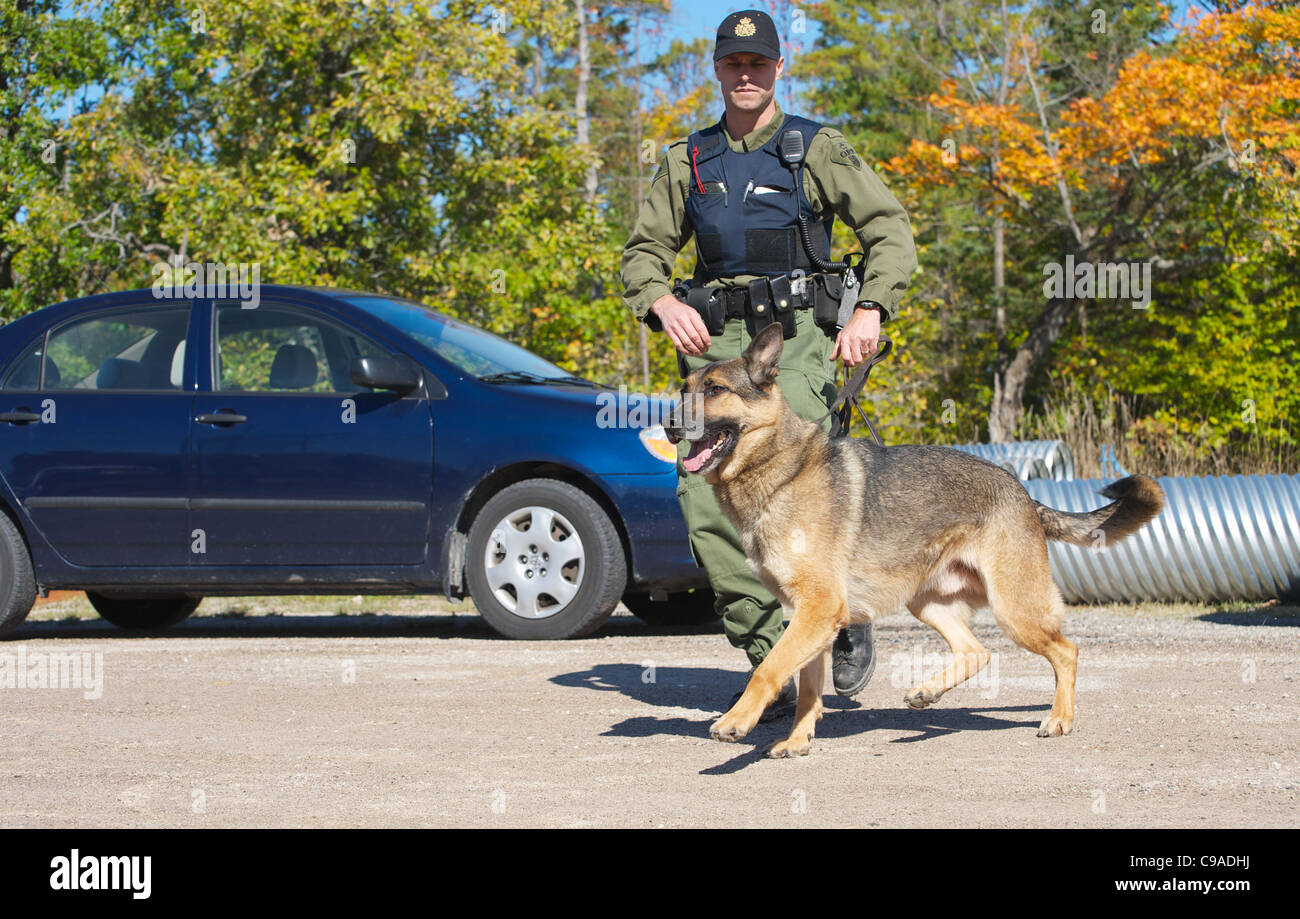 A uniformed K9 unit police officer and his sniffer dog crossing a parking lot in the autumn. - Stock Image