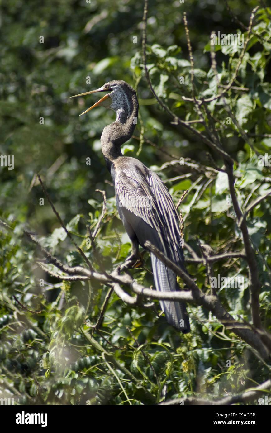 Oriental Darter at Ranganathittu Bird Sanctuary, Mysore - Stock Image