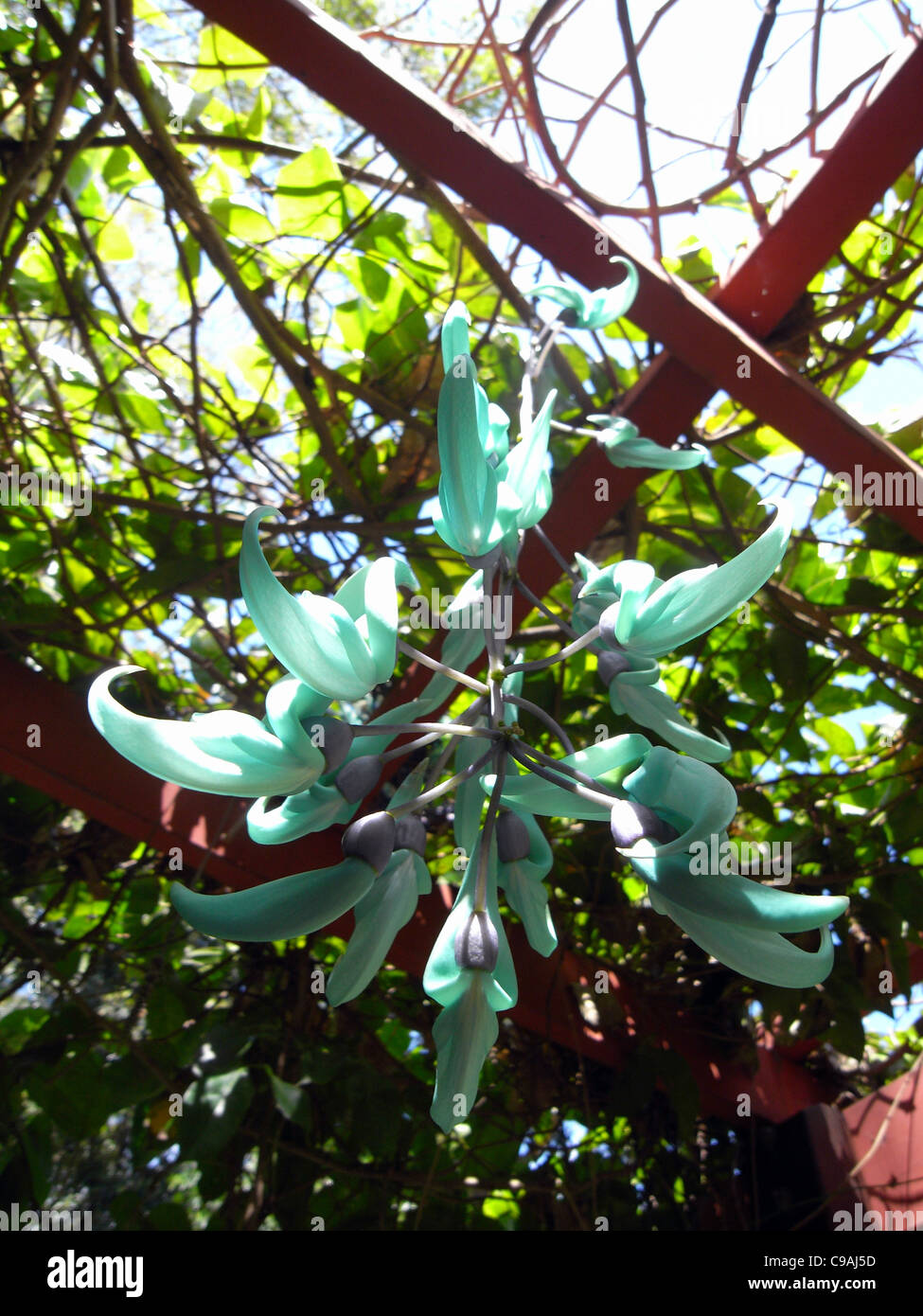 Flowering Jade Vine (Strongylodon macrobotrys) on overhead trellis at Flecker Botanic Gardens, Cairns, Queensland, - Stock Image