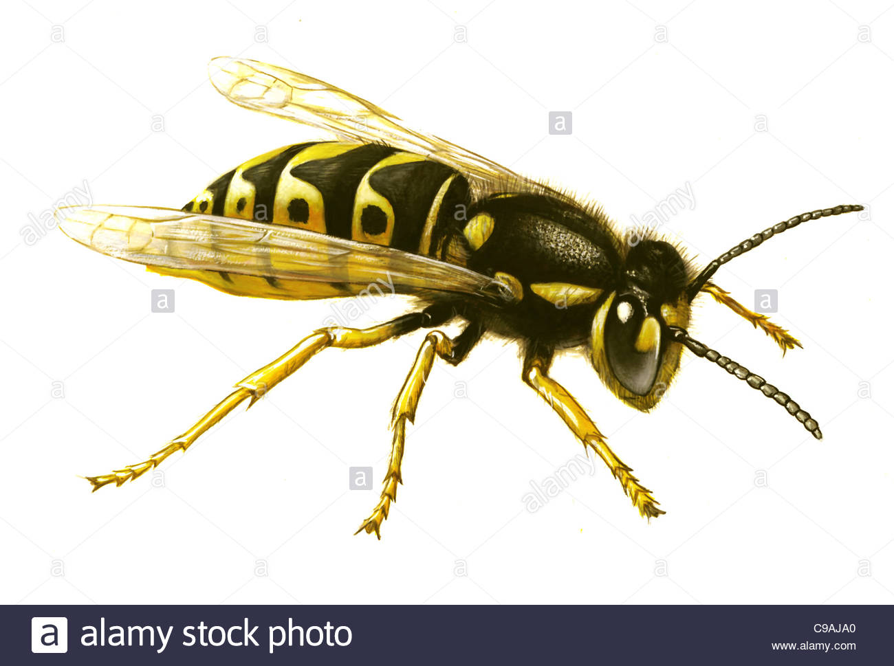Series Schdlinge vermin German wasp Vespula germanica - Stock Image