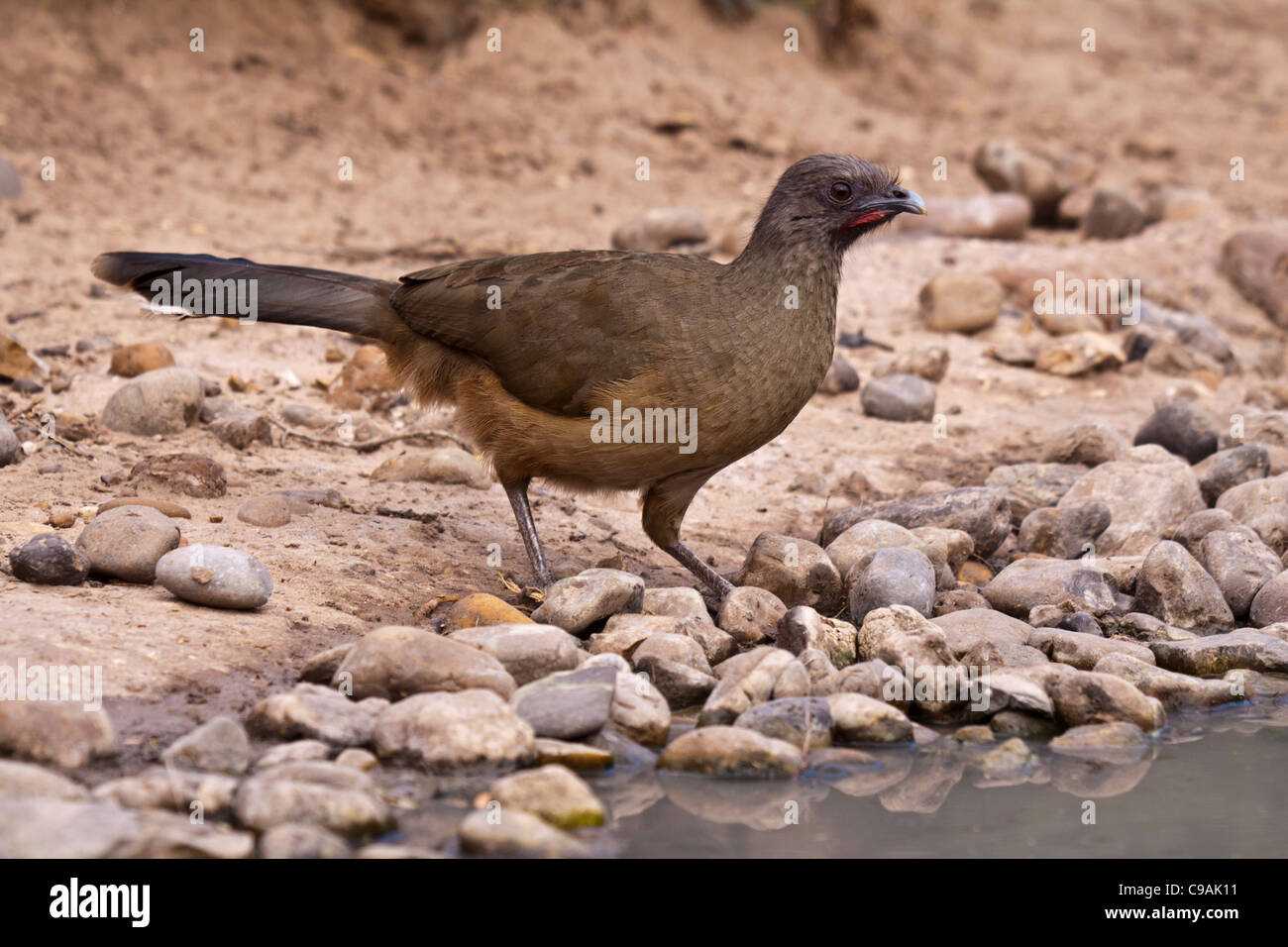Plain Chachalaca, Ortalis vetula, at the Javelina-Martin wildlife refuge - Stock Image