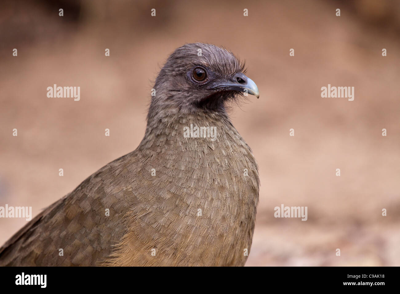 Plain Chachalaca, Ortalis vetula, at the Javelina-Martin ranch and refuge. - Stock Image