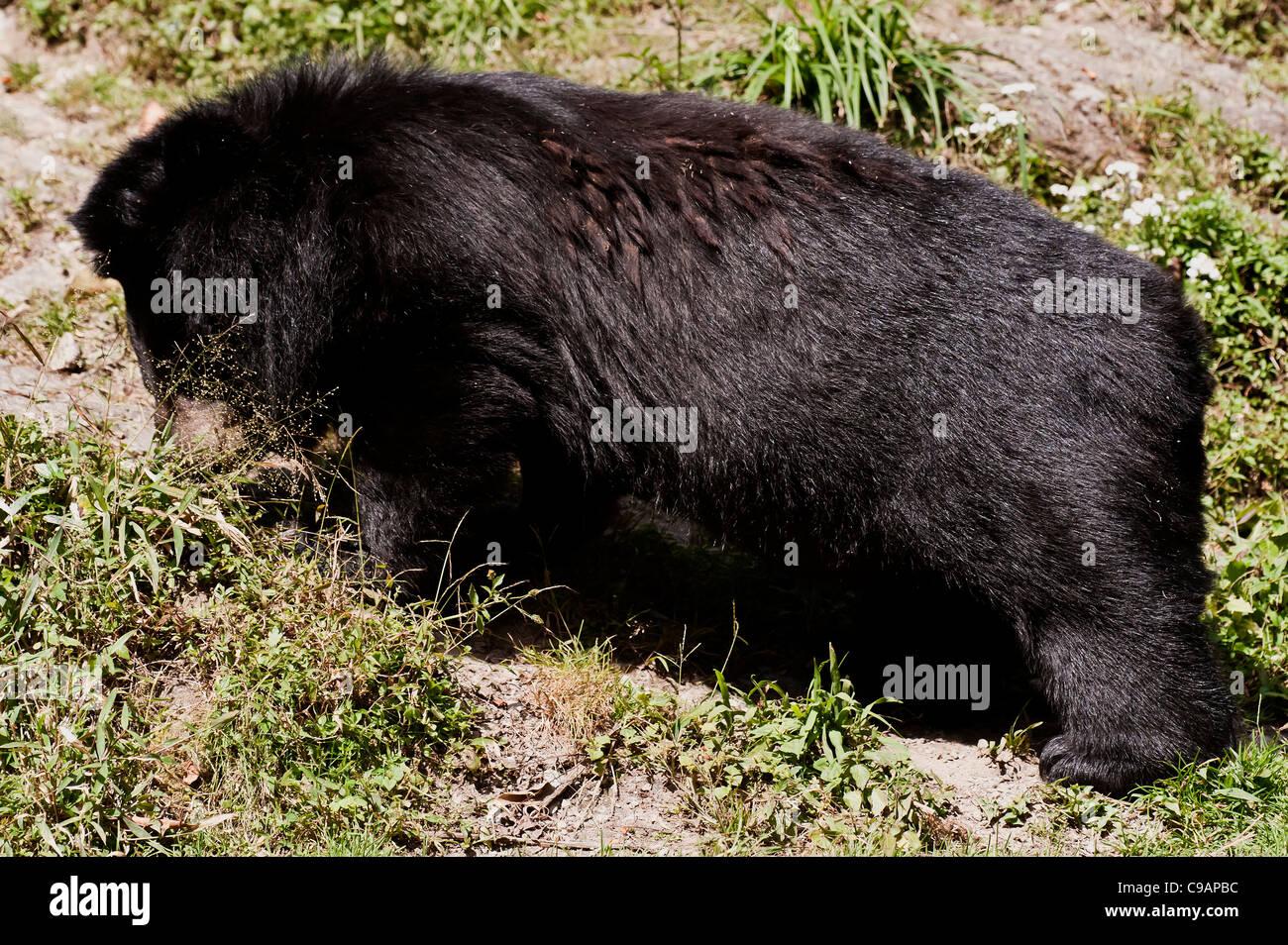 Himalayan Black Bear walking through grass in the zoo . - Stock Image