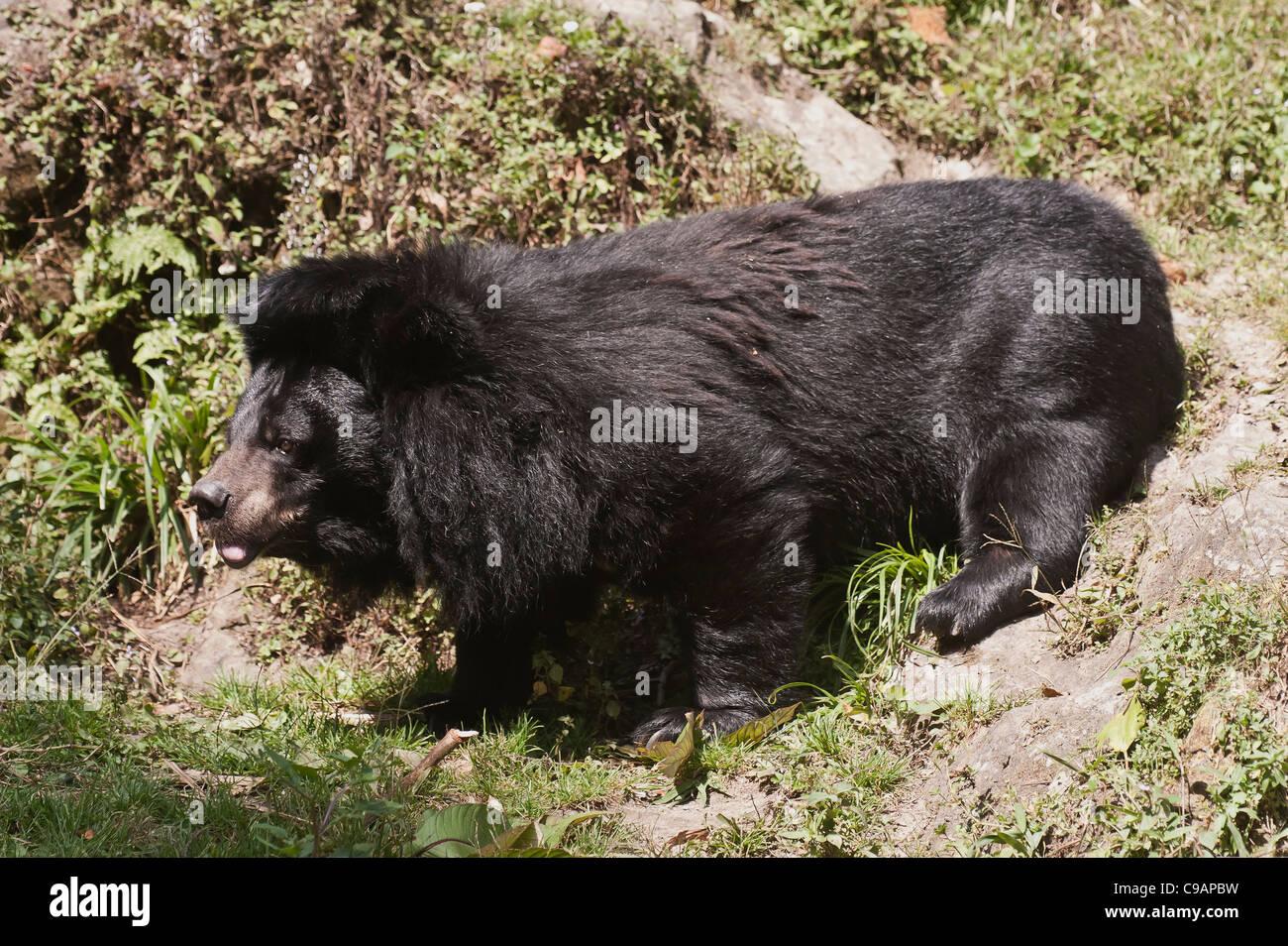 black bear attack - Stock Image