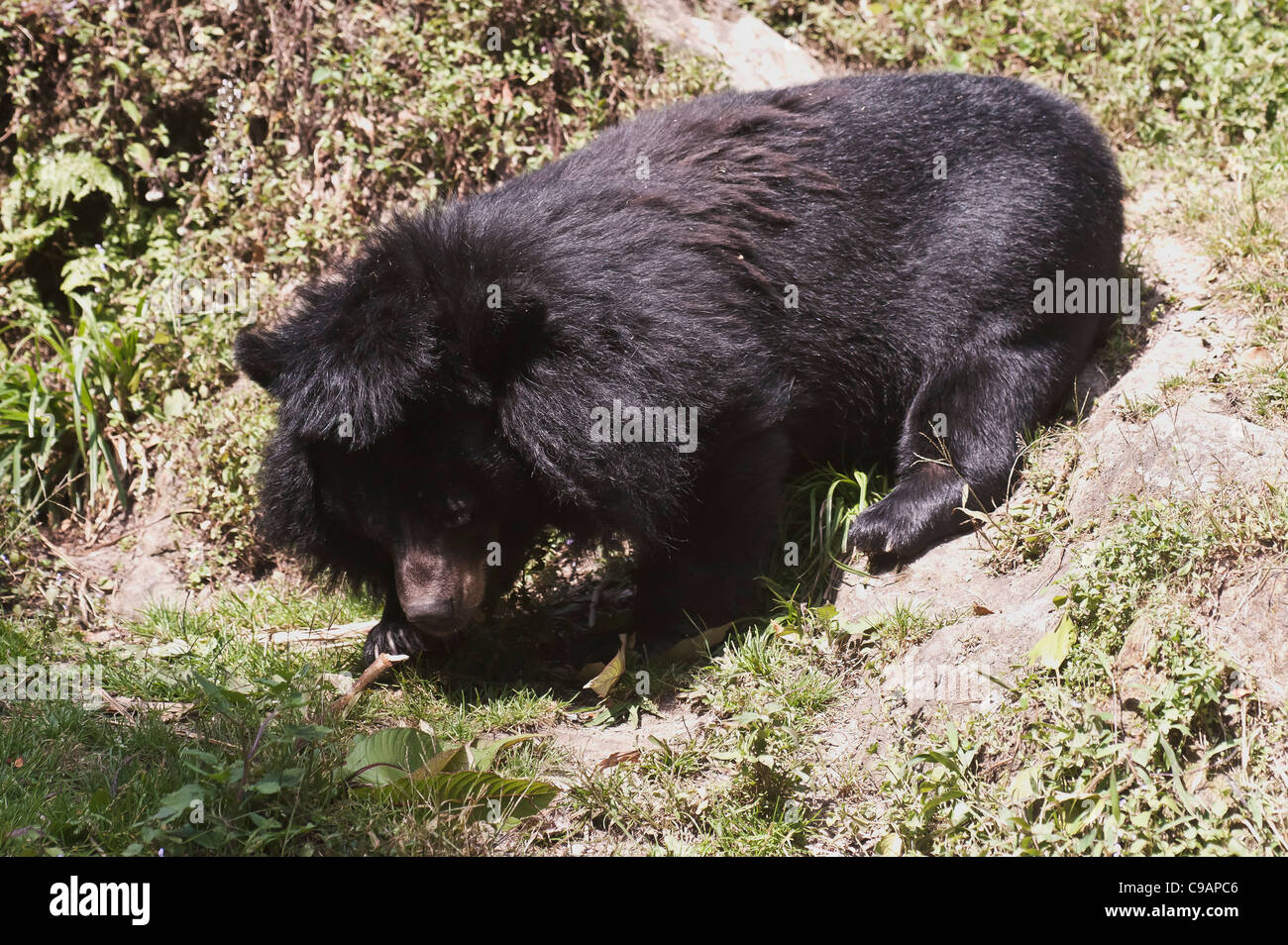 Himalayan Black Bear gliding down through sharp inclines in the zoo . - Stock Image