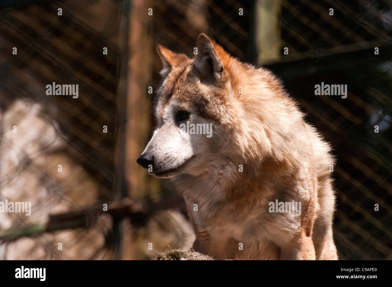 Himalayan wolf  looking anxiously for food -wait for morning breakfast. - Stock Image