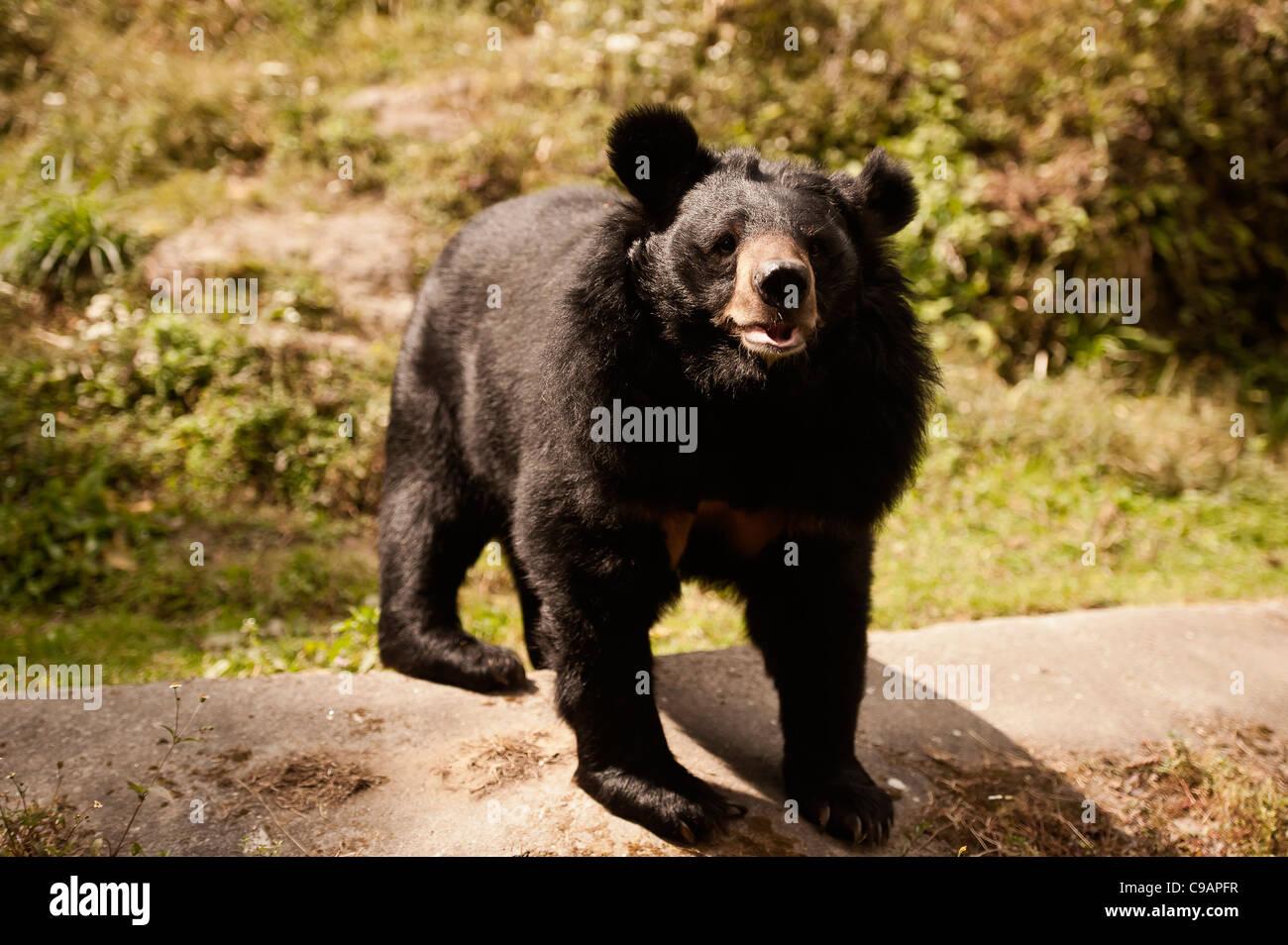 Charging bear, before,final,assault. - Stock Image