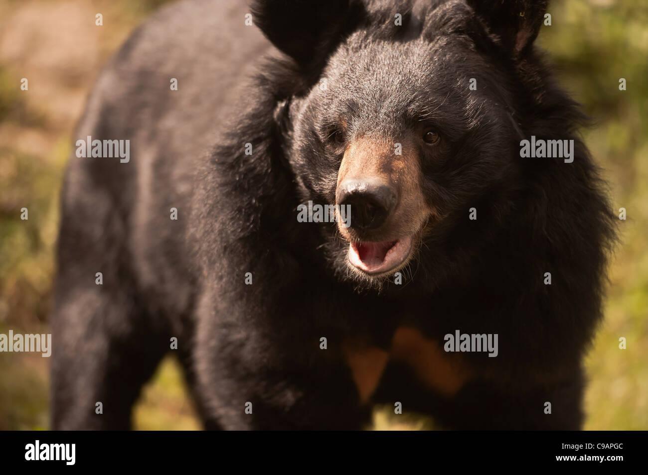 Bear  attacking  . - Stock Image