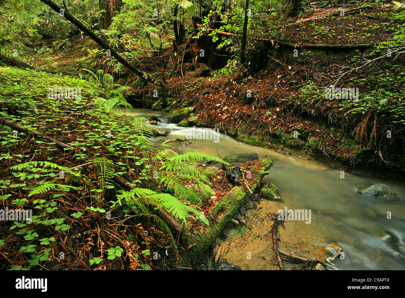 Lush rain forest stream with ferns and clovers - Stock Image