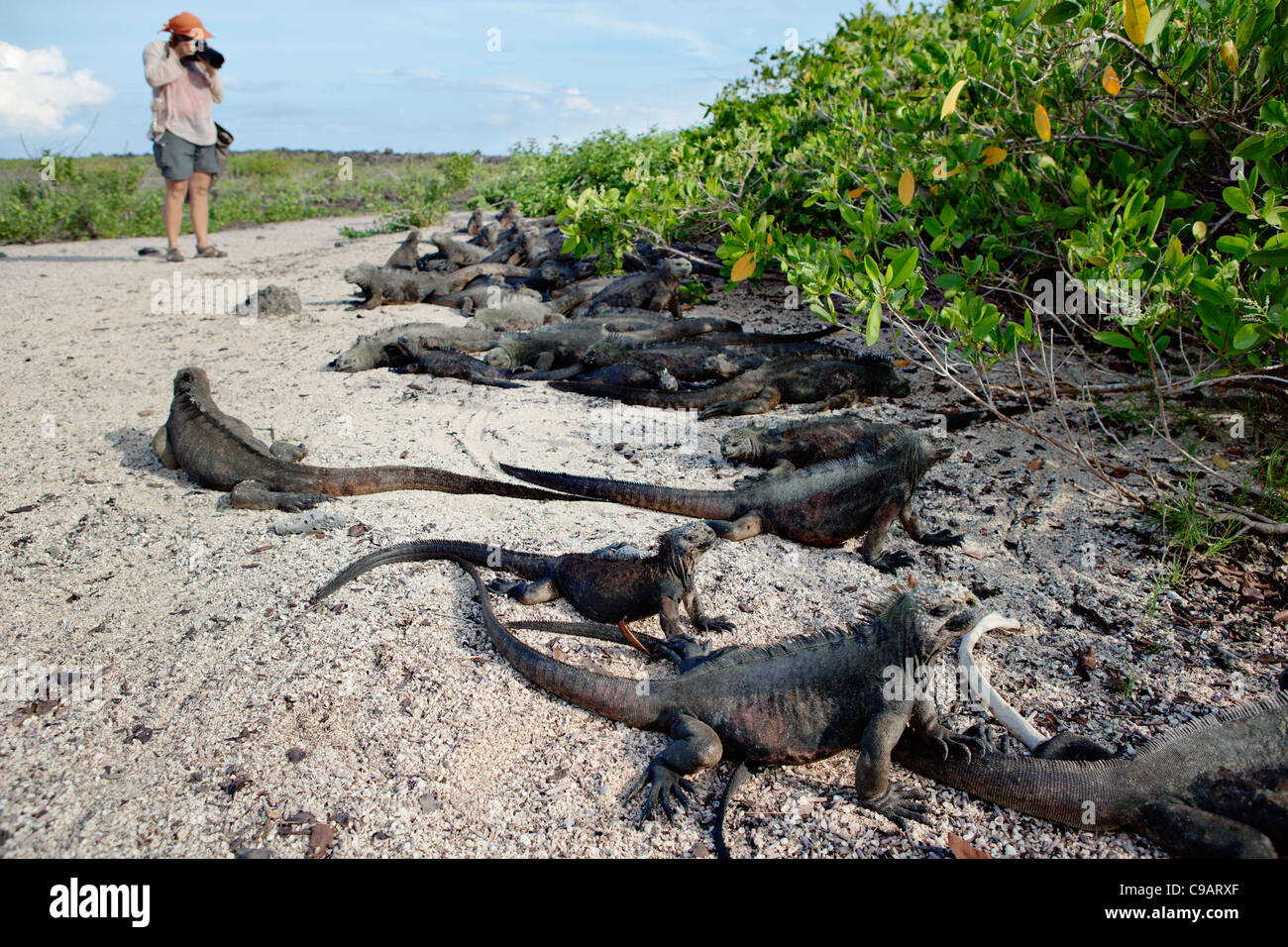 More than 60 marine iguanas in Tortuga Beach on Santa Cruz island, Galapagos, Ecuador. - Stock Image