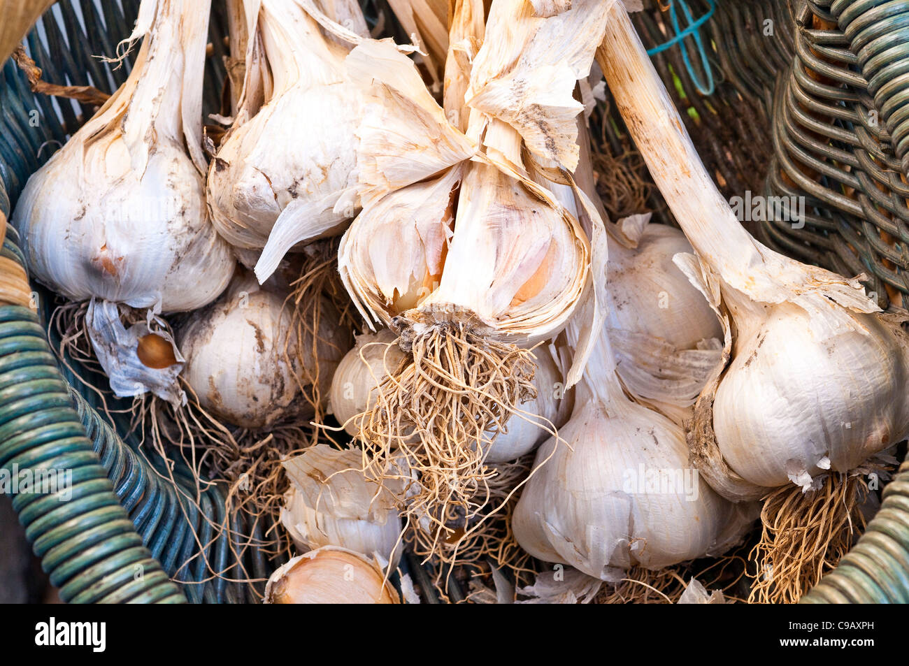 Bunch of Elephant Garlic / Allium ampeloprasum bulbs in wicker basket - France. - Stock Image