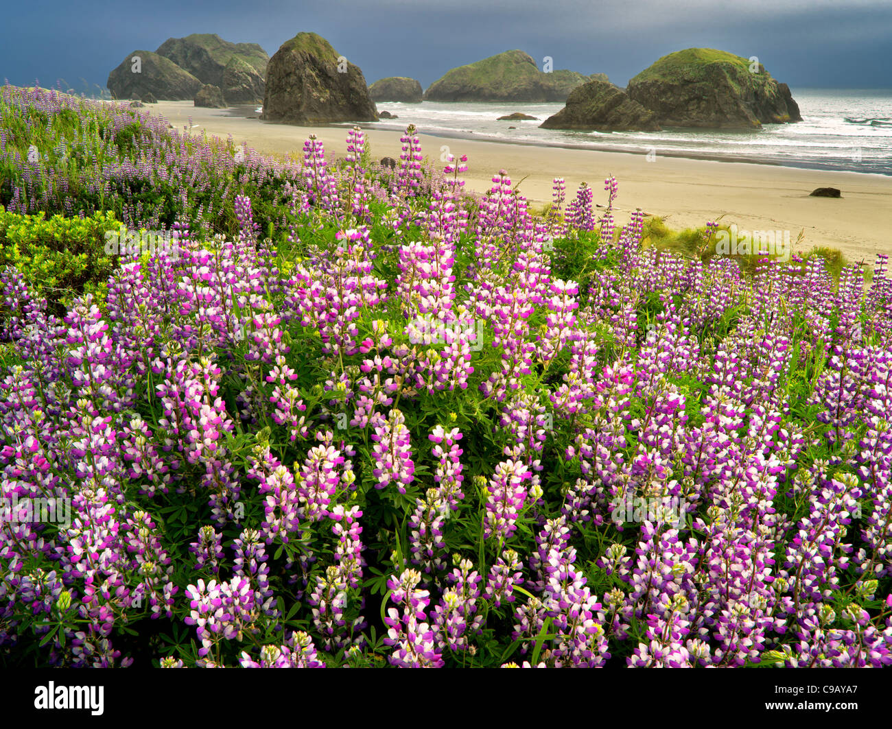 Lupine at Clay Myers State Natural Area. Oregon - Stock Image