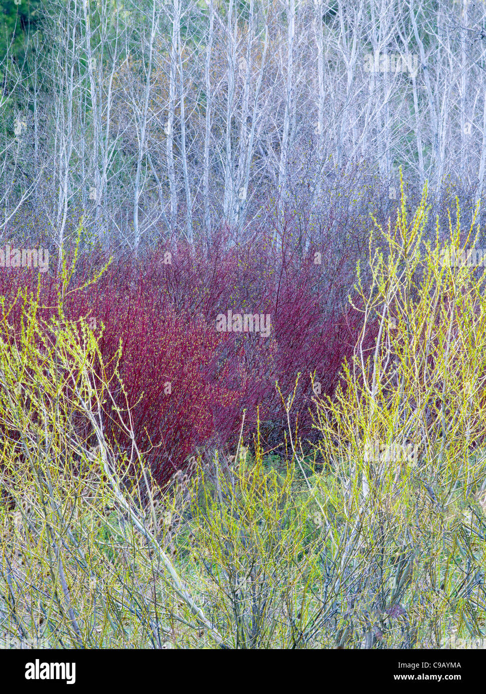 Willows in early spring with aspen trees. . Near John Day, Oregon - Stock Image