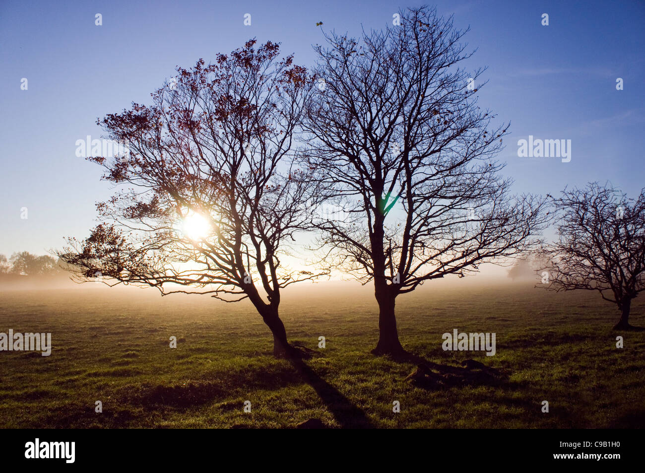TWO BARE TREES IN WINTER SUNSHINE - Stock Image