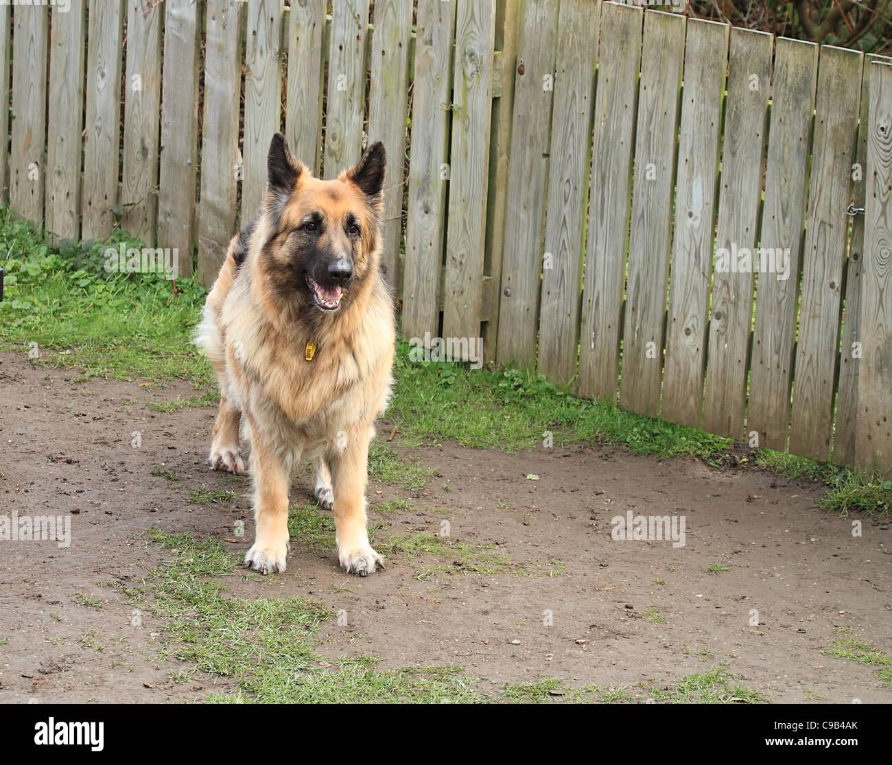 police dog Alsatian - Stock Image