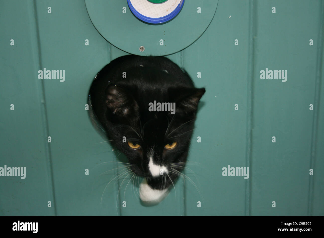 Black Male Cat With White Nose And Paw Emerging From Cat Hole In Green Door.